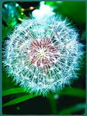 Ready to make a wish (liss.cook) Tags: dandelion weed plant flower