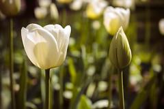 IMG_7794 (gungorme) Tags: nature doğa tabiat colors color renkler turkey türkiye beauty simple simplicity sade sadelik minimal minimalism minimalist pretty flower flowers macro closeup perspective perspektif spring ilkbahar bloom blossom blooming plant çorum macrophotography macropics tulip tulipes lale laleler