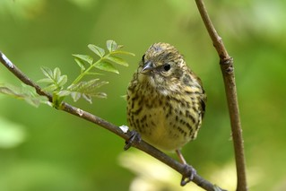 Young siskin full of wonder...