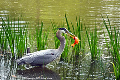 Great Blue Heron (Trish Mayo) Tags: birds greatblueheron mountauburncemetery mtauburncemetery cemetery