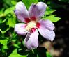 DSC_8488e ~ Hibiscus (BDC Photography) Tags: pipecreek texas usa 081 nikon nikond3 nikonafmicronikkor60mmf28dlens bwfpro62mm010uvhaze1xfilter hibiscus roseofsharon flower macroflowerlovers