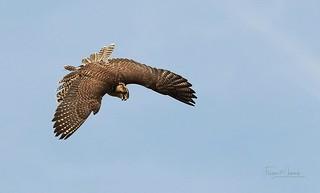 Falke/Falcon