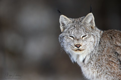 Northern Ghost (Megan Lorenz) Tags: lynx canadianlynx canadalynx cat feline wildcat animal mammal nature wildlife wild wildanimals northernontario ontario canada mlorenz meganlorenz