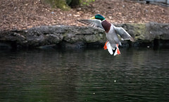Mallard Landing in a Pond (Xuberant Noodle) Tags: action amazing anas animal beautiful bird body color colorful colour colourful cool duck environment feather flight fly flying green head inflight lake land landing life male mallard nature or oregon outdoor outdoors outside platyrhynchos pond portland pretty splash spread spreading stunning takingflight touchingdown vibrant water wild wildlife wing