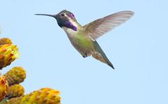 Costa's Hummingbird -- Male (Calypte costae); Catalina, AZ, [Lou Feltz] (deserttoad) Tags: nature animal bird wild wildlife hummingbird cactus desert arizona bloom flight flower