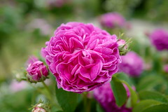 Schwerin Blüte 2 (UlGuSu) Tags: rosen blume flowers