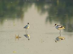 P5310292 (turbok) Tags: säbelschnäblerrecurvirostraavosetta tiere vögel wildtiere c kurt krimberger