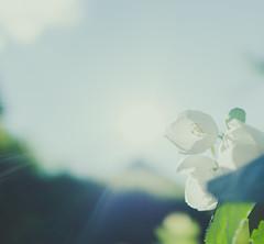 Towards the light (mripp) Tags: art vintage retro old flower contra abstract macro garden summer light loch sony rx1rii mellow