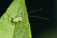 Speckled bush cricket nymph (Shane Jones) Tags: speckledbushcricketnymph cricket insect wildlife nature nikon d7200 tamron180mmmacro pk3extensiontube pk3x2 canon500d macro macrolife macrophotosnolimits macrolicious