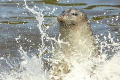 splash (photos4dreams) Tags: zoo susannahvvergau photos4dreams p4d photos4dreamz animals animal tiere tier robbe seal tierpark robbarium stpeterording