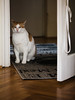 Inspecting the New Guy (Thomas Listl) Tags: thomaslistl color indoor cat animal inspecting sceptical cute floor wood parquet door frame carpet 100mm budapest