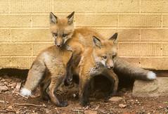 IMGL1450 Pugwash Red Fox Kit(s) (Wallace River) Tags: foxes novascotia pugwashfoxes redfoxes