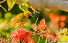 810.Spectacled Weaver..Brilwewer (myphotos6503) Tags: bird weaver spectacledweaver brilwewer nature yellow yellowbird wildlife tree flower portrait colourful flora