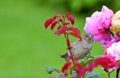 Le moineau (Diegojack) Tags: lausanne vaud suisse d7200 ouchy jardin rosier oiseaux moineaux