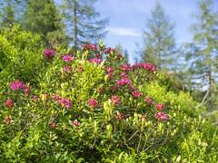 P6081237 (turbok) Tags: almrausch alpenpflanzen pflanze wildpflanzen c kurt krimberger