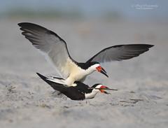 Black Skimmer (suraj.ramamurthy) Tags: nikkor500mm nikond500 nickersonbeach longislandbeaches
