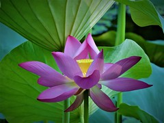 Lotus (Jeong Kab Cheol) Tags: nature nikon lotus pink plants green