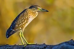 Beauty of The Nature (asifsherazi) Tags: juvenileblackcrownednightheron lakebaringo kenya asifsherazi tumbilicliff wildlife morning pakistaniwildlifephotographer