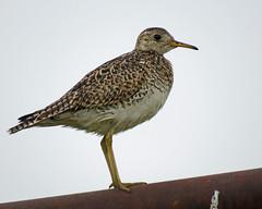 IMG_0100-1 (lbj.birds) Tags: kansas nature flinthills wildlife bird sandpiper uplandsandpiper