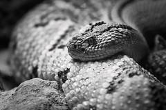 Please, smile! (MANUELup) Tags: cabárceno cantabria spain naturepark crotalus rattler rattlesnake serpent reptilia reptile snake blackandwhite eyes scales grain stare