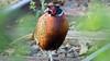 Between the rails - Ring-necked Pheasant - Seaton Wetlands, Seaton, Devon - 3 June 2018 (Dis da fi we) Tags: ringnecked pheasant seaton wetlands devon phasianus colchicus