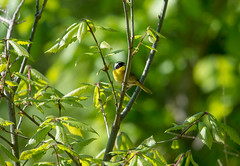 masked forager (long.fanger) Tags: centreville virginia commonyellowthroatgeothlypistrichas male oak spring utilityeasementarea