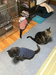 Spot in Front of the Heater (sjrankin) Tags: 12june2018 edited animal cat floor heater chilly typhoon yubari hokkaido japan rain kitchen bonkers argent tigger