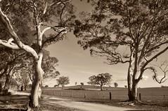 Down the Road (holly hop) Tags: trees landscape bush farm rural australia centralvictoria victoria emu abctvweather ngc sepia mono