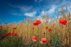 Roselles (jordigasion) Tags: flowers spring summer springtime rural scene wheat poppy poppies red field lleida catalunya catalonia nature filter floral colors