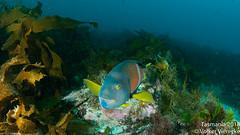 Notolabrus tetricus, DUW_2432 (Volker Vierecke) Tags: australia bicheno tasmansea tasmania tauchen underwater
