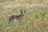 Coyote #104 (lennycarl08) Tags: coyote animals animalplanet pointreyesnationalseashore ptreyes california marincounty