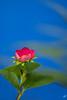 Straw Berry and Daylily (jgaosb) Tags: straw berry flower backyard