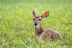 """A white-tailed fawn is """"Waitin' on Ma!"""" at Berry College. Judy Royal Glenn Photography (Judy Royal Glenn) Tags: 2018 berrycollege romegeorgia deer babydeer whitetaileddeer whitetailedfawn fawn fawns judyroyalglennphotography judyroyalglenn nature animals animal wildlife wildlifephotography georgia whitetaildeer whitetailfawn"""