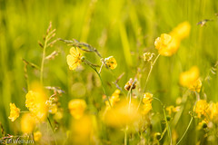 Summer Meadow Wilds (Mirrored-Images) Tags: bokeh buttercups closeup depthoffield flora flower macro meadow nature northyorkshire outdoor wildflower