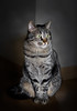 Posando (JACRIS08) Tags: cat gatos animales mascotas pet