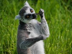 Lemur (Karls Kamera) Tags: lemur ringtailed lakedistrict wildlife park eating food chewing