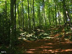 Fageda d'en Jordà (Nati C.) Tags: girona parquenatural lagarrotxa hayedo fageda bosque naturaleza paisaje nik