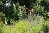 CKuchem-5875 (christine_kuchem) Tags: baum bienenweide blumen blüte blüten frühsommer garten hausgarten hecke insekten juni karde katzenminze mohn nahrung naturgarten nektar pflanze privatgarten schöllkraut wildblumen wilde ziergarten naturnah natürlich rot äste