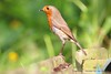 Insect Hunting..... (law_keven) Tags: robins robin gardens garden raisedbeds avian catford london england wildlife wildlifephotography photography gardenbirds robinredbreast