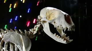Skeleton - 5338