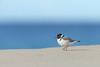 Hooded Plover (0ystercatcher) Tags: hoodedplover thinornisrubricollis bird haycockbeach eden nsw australia taxonomy:common=hoodedplover taxonomy:binomial=thinornisrubricollis geo:country=australia
