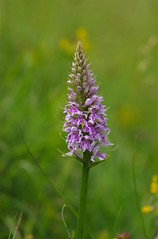 Lush! (favmark1) Tags: kent orchids kentorchids britishorchids wildorchids commonspottedorchid dactylorhizafuchsii