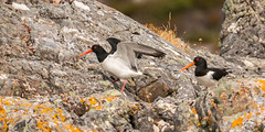 Mr and Mrs Oystercatcher (donnasmith13) Tags: nature oystercatcher wildlife animal bird eurasian white black haematopus ostralegus sea wader common water wild fauna background wilderness grass beach flight coast ocean summer birdwatching pied europe rock beak island shore orange birds bill red beautiful seabirds oystercatchers shorebird standing wings outdoors uk waterfowl redbill seaside ornithology seabird naturalhabitat blackandwhite stone canon77d lochinver scotland