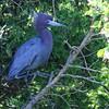 Little Blue Heron (britonparker) Tags: heron