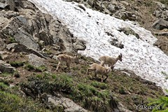 Bouquetins (Yaxara) Tags: animal wildlife alps mountain rock snow