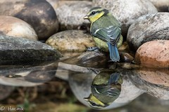 Doppelgänger (Knutsfordian) Tags: syymmetry water baby bird cyanistes caeruleus blue tit juvenile rock pool pond reflection
