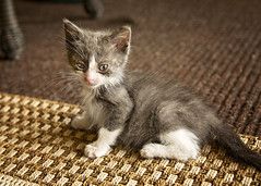 6 weeks old (Jenny Onsager) Tags: kitten cats pets feline cateyes whiskers babycat paws 6weeks