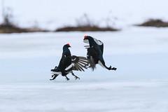20180504-_PHE0275 (drix82) Tags: 150600 actie blackgrouse dieren dierengevechten finland hanengevechten korhoen may viiksimo vogels morning ochtend