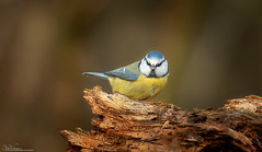 Blue Tit (Steve (Hooky) Waddingham) Tags: bird british blue countryside calke nature small tit tits wild wildlife song