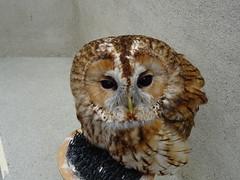 DSC07668 (guyfogwill) Tags: 2018 birds brandonsbirthday devon gbr guyfogwill may owls paignton tawnyowl unitedkingdom paigntontorquay
